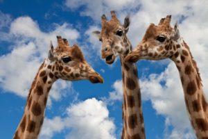 Giraffen Unterhaltung Hälse